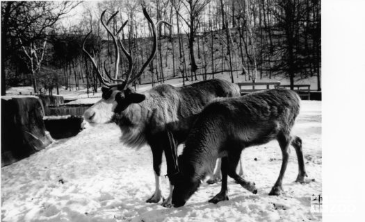 Two Reindeers In the Snow