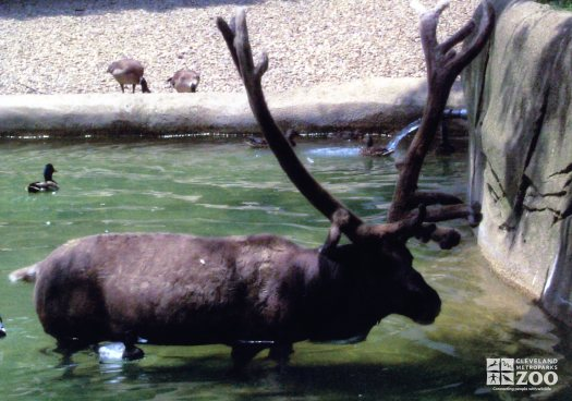 Reindeer Standing In Water In Profile