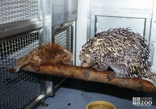 Prehensile-Tailed Porcupine and Baby