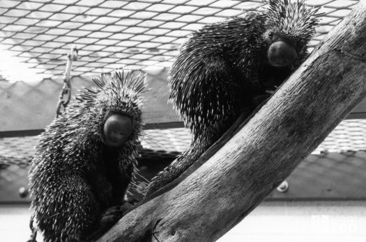Two Prehensile-Tailed Porcupines On Log