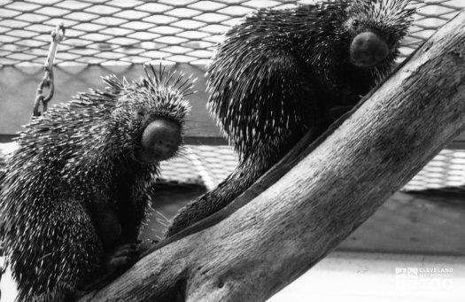 Two Prehensile-Tailed Porcupines On Log 2