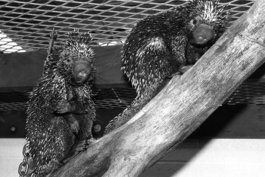 Two Prehensile-Tailed Porcupines Facing Forward 2