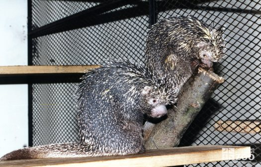 Prehensile-Tailed Porcupines In Exhibit