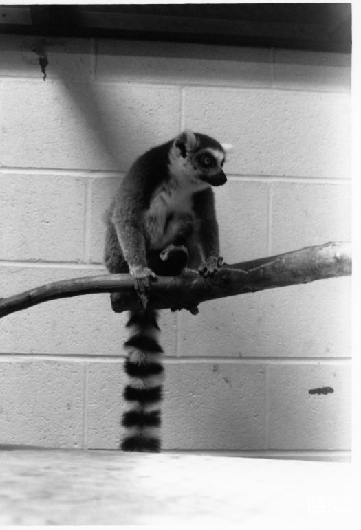 Ring-Tailed Lemur and Baby 6