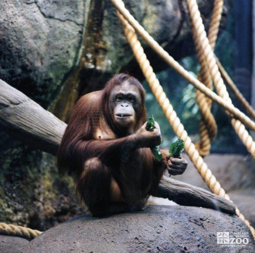 Orangutan Eating
