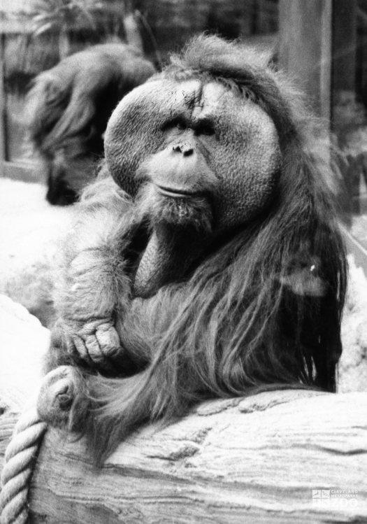 Orangutan in Black-and-White 2