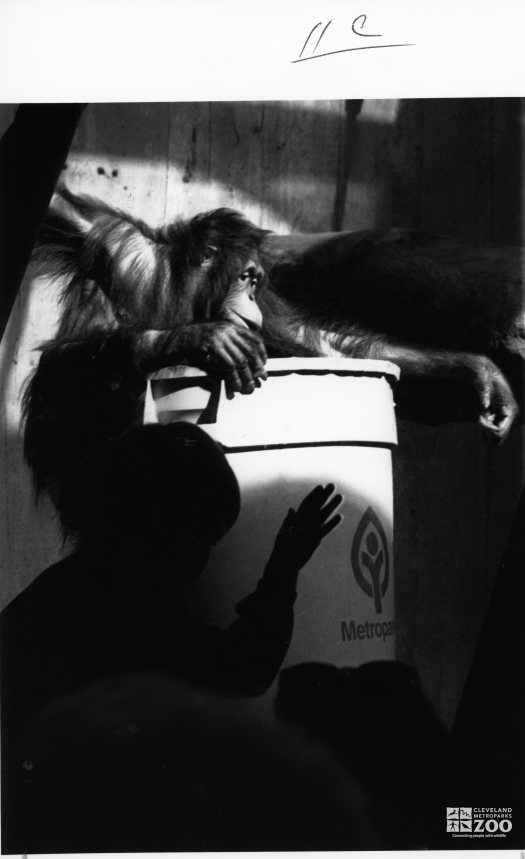 Orangutans with Trash Barrel
