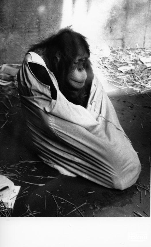 Orangutan in Black-and-White 6