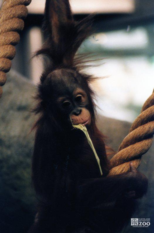 Young Orangutan 2