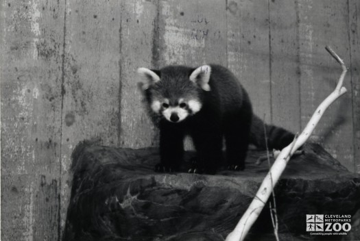 Red Panda Black and White