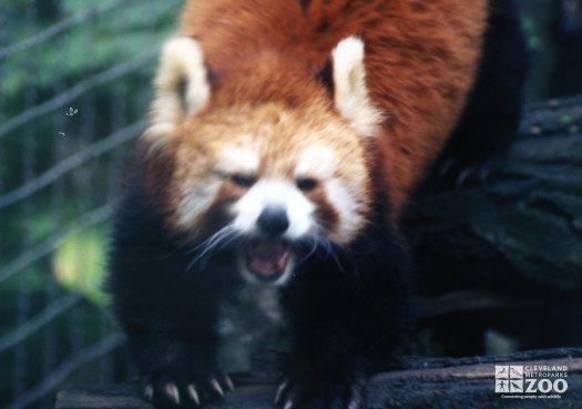 Red Panda Showing Us His Teeth