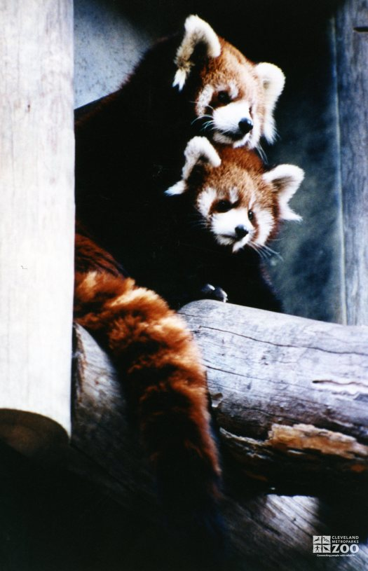 Red Pandas With Heads Together