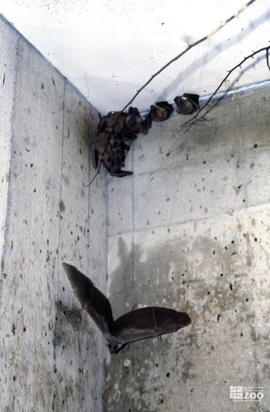 Egyptian Fruit Bat In Flight