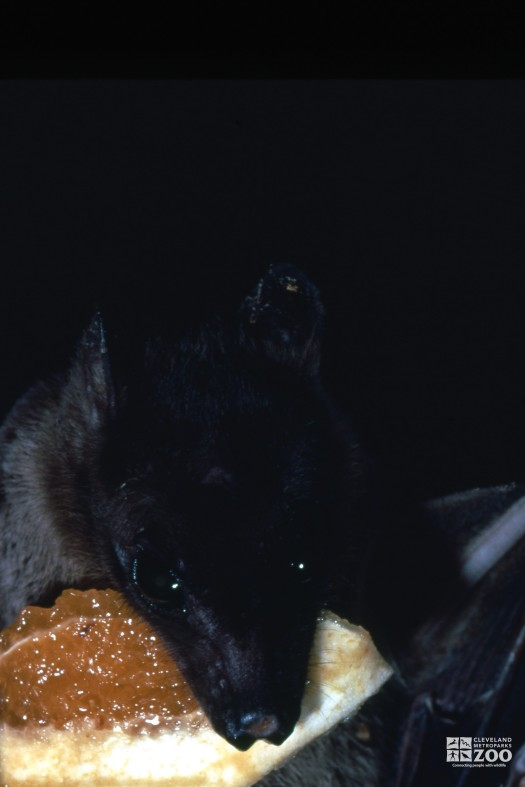 Egyptian Fruit Bat Eating Orange Up Close