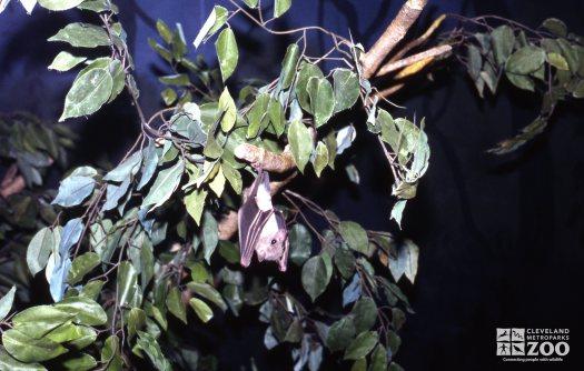 Egyptian Fruit Bat Hanging From Tree Limb