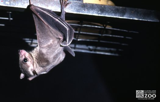 Egyptian Fruit Bat Up Close Side View
