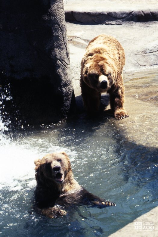 Grizzly Bears Playing In Water