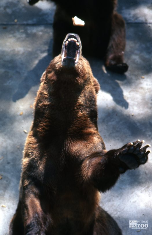 Grizzly Bear Catching A Piece Of Food