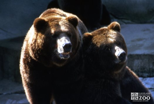 2 Grizzly Bears Up Close