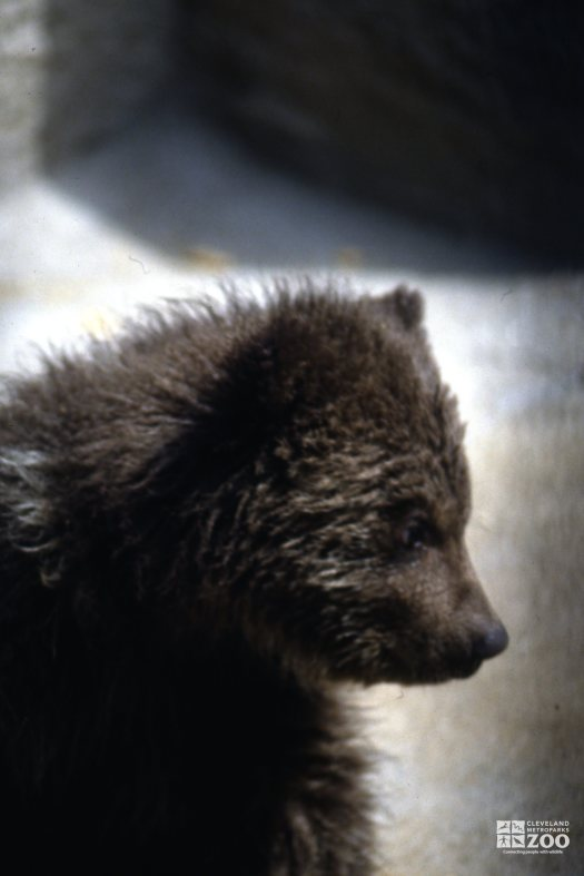Grizzly Bear Cub Profile Up Close
