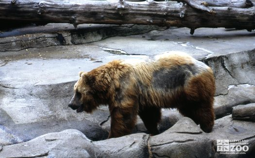 Grizzly Bear Side Profile 2