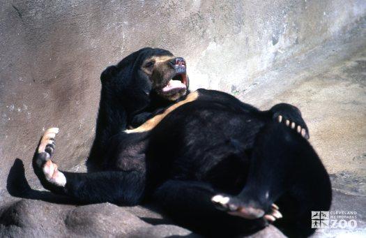 Malayan Sun Bear Laying On Back Yawning