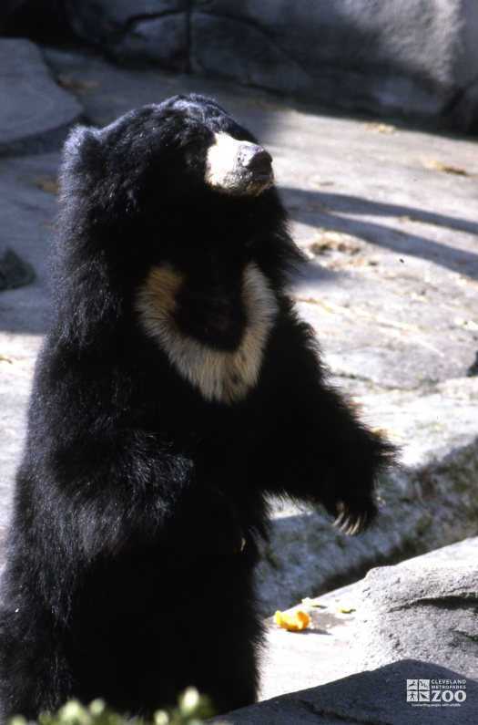 Sloth Bear Standing Up