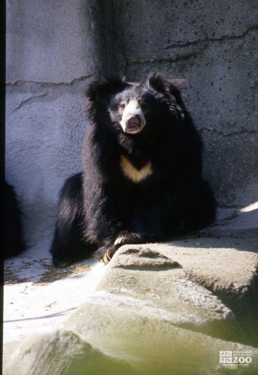 Sloth Bear Looking Forward On Rock 2