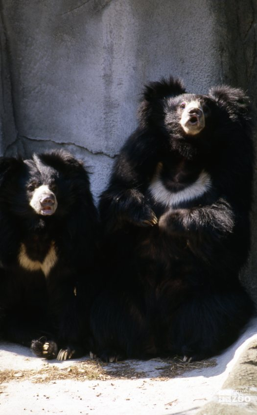 Two Sloth Bears Front Profile