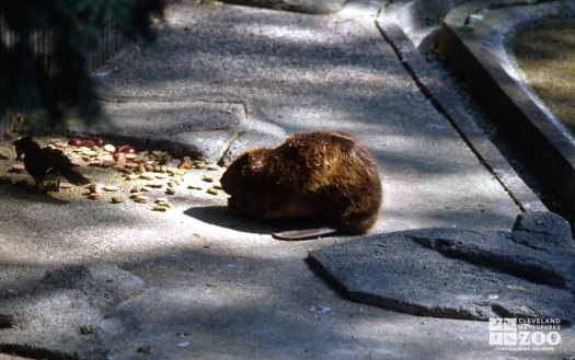 Beaver Side Profile While Eating