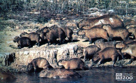 Capybaras On The River Bank