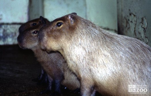 Three Capybaras In Side Profile