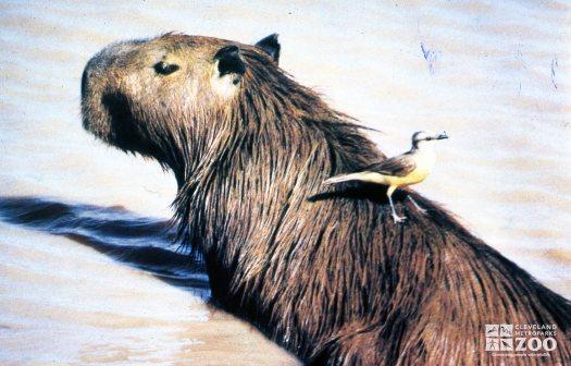 Capybara With Bird On Back