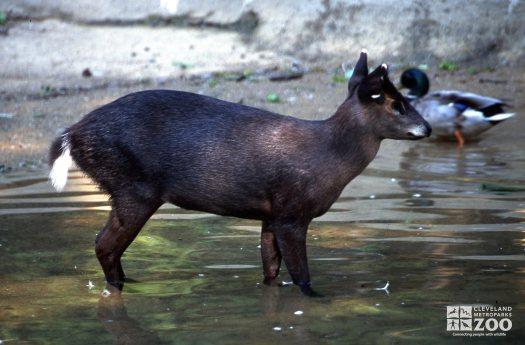 Deer, Tufted in Water 2