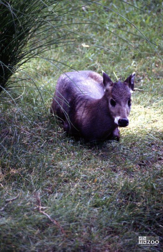 Deer, Tufted Lying Down