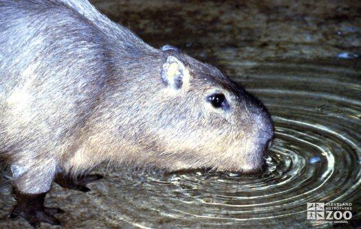 Capybara Getting A Drink