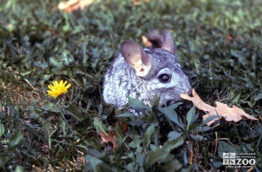 Chinchilla, Long-Tailed Sniffing Leaf