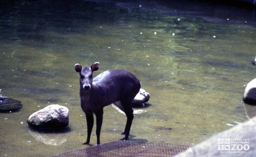 Deer, Tufted Standing In Water
