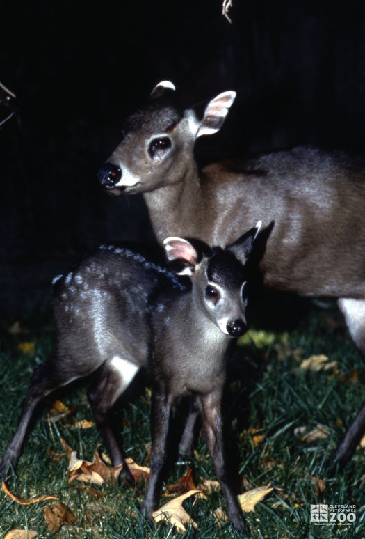 Deer, Tufted Mom and Fawn 2