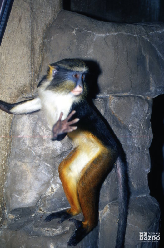 Wolf's Guenon Standing On Rock