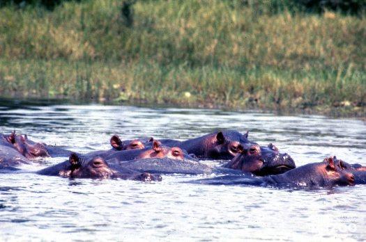 Hippopotamus, Nile Swimming In the River