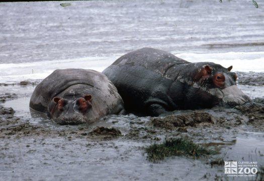 Hippopotamus, Nile Enjoying A Mud Bath