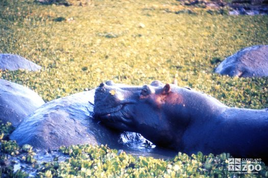 Hippopotamus, Nile Resting On Another