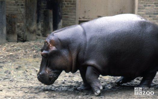 Hippopotamus, Nile Side View
