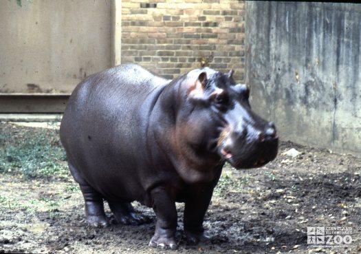 Hippopotamus, Nile Frontal View