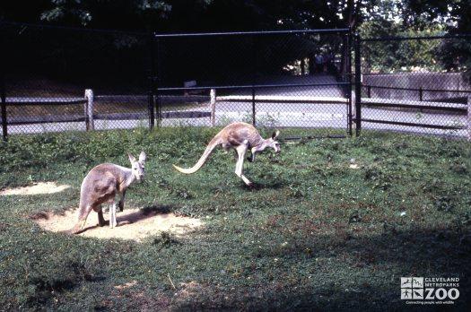 Kangaroo, Red Hopping