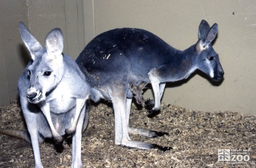 Kangaroo, Red See Joey In The Pouch