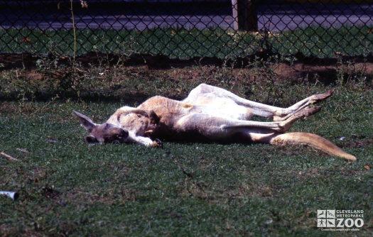 Kangaroo, Red Napping In The Sun