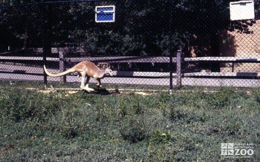 Kangaroo, Red Hopping 2