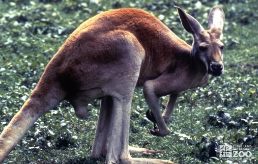 Kangaroos, Red Side View Looking Right 2